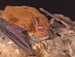 Scientists discover new bat species in West Africa