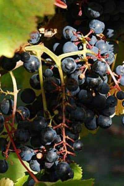 Scientists sequence genome of high-value grape seeking secrets of wine
