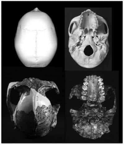 'Homo' only primate whose tooth size decreases as its brain size increases
