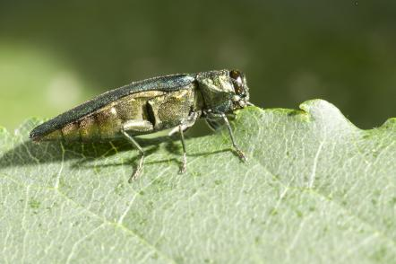 Emerald ash borers were in U.S. long before first detection