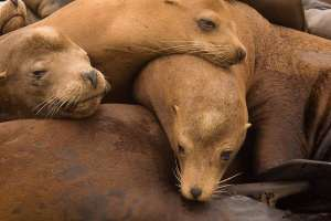 Sea lions resting on one another.