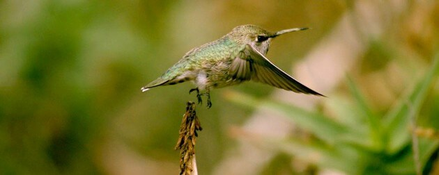 Hummingbirds vs. helicopters: Stanford engineers compare flight dynamics