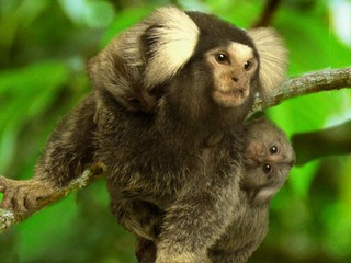 Marmoset sequence sheds light on primate biology, evolution
