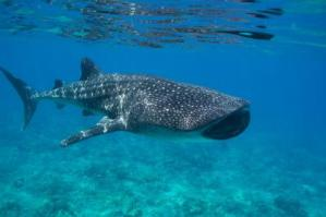The Maldives and the whale shark- The world's biggest fish adds value to paradise