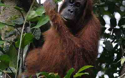 More Sumatran orangutans than previously thought