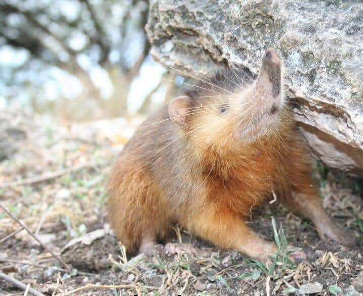 Endangered venomous mammal predates dinosaurs' extinction