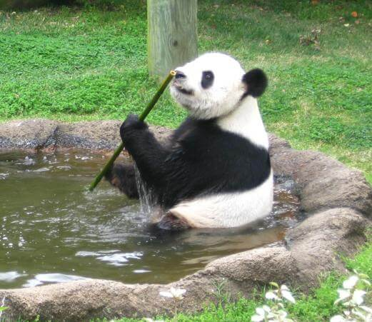 Panda poop study provides insights into microbiome, reproductive troubles