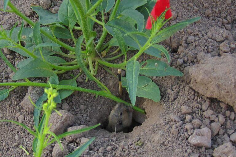 Jasmonate-deficient tobacco plants attract hungry herbivores