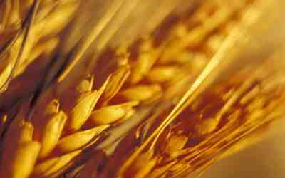 Researchers Find Biological Explanation for Wheat Sensitivity