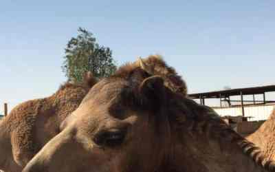 Common cold viruses originated in camels — just like MERS