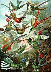 171px-Haeckel_Trochilidae