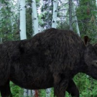 Elasmotherium, The Origin Of Unicorn Legends, Survived Until At Least 50,000 Years Ago, Possibly Until Much More Recently