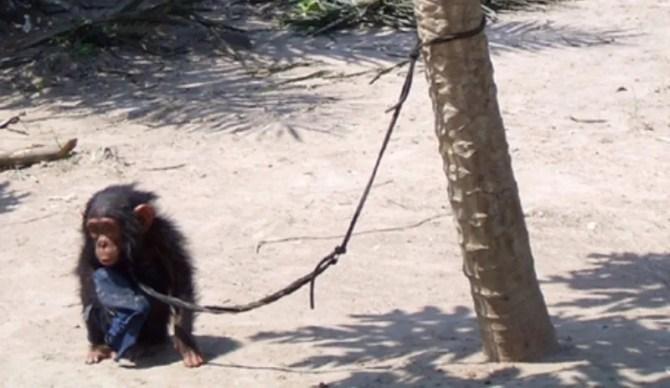Chimpanzee orphan bushmeat pet trade