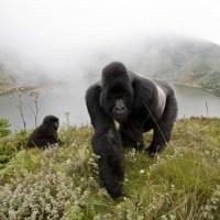 Endangered Primates Species List -- Mountain Gorilla, Blue-Eyed Black Lemur, Howler Monkeys, Tarsiers, Gibbons, Tamarins, Etc