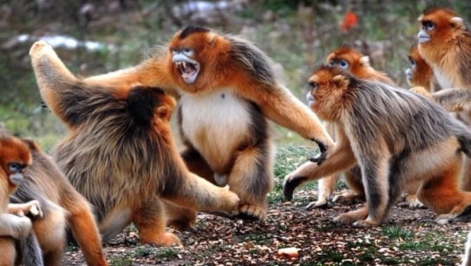 Golden snub-nosed monkeys