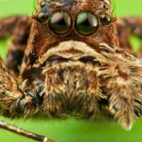 Spiders -- Assassin Spider, Camel Spider, Diving Bell Spider, Portia, Bagheera Kiplingi, Tiger Spider, Mirror Spider, Peacock Spider, Trapdoor Spiders, Etc