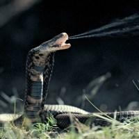 Snakes -- King Cobra, Banded Sea Krait, Reticulated Python, Spider-Tailed Viper, Wonambi Serpent, Diamondback Rattlesnake, Titanoboa, Etc