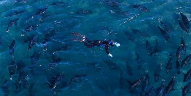 Southern Bluefin Tuna school