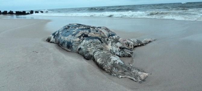 Giant Leatherback Sea Turtle Dead