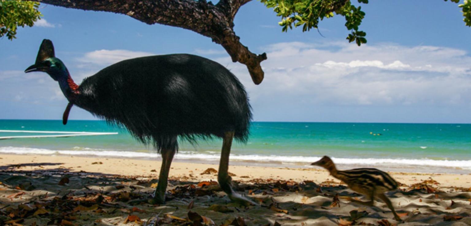 Southern Cassowary (Casuarius Casuarius) — Bird, Attacks On Humans, Feet, & Pictures