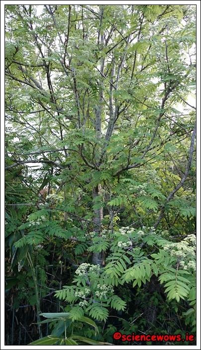 The lovely Rowan Tree