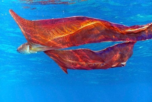 Mystery Creature revealed – the blanket octopus