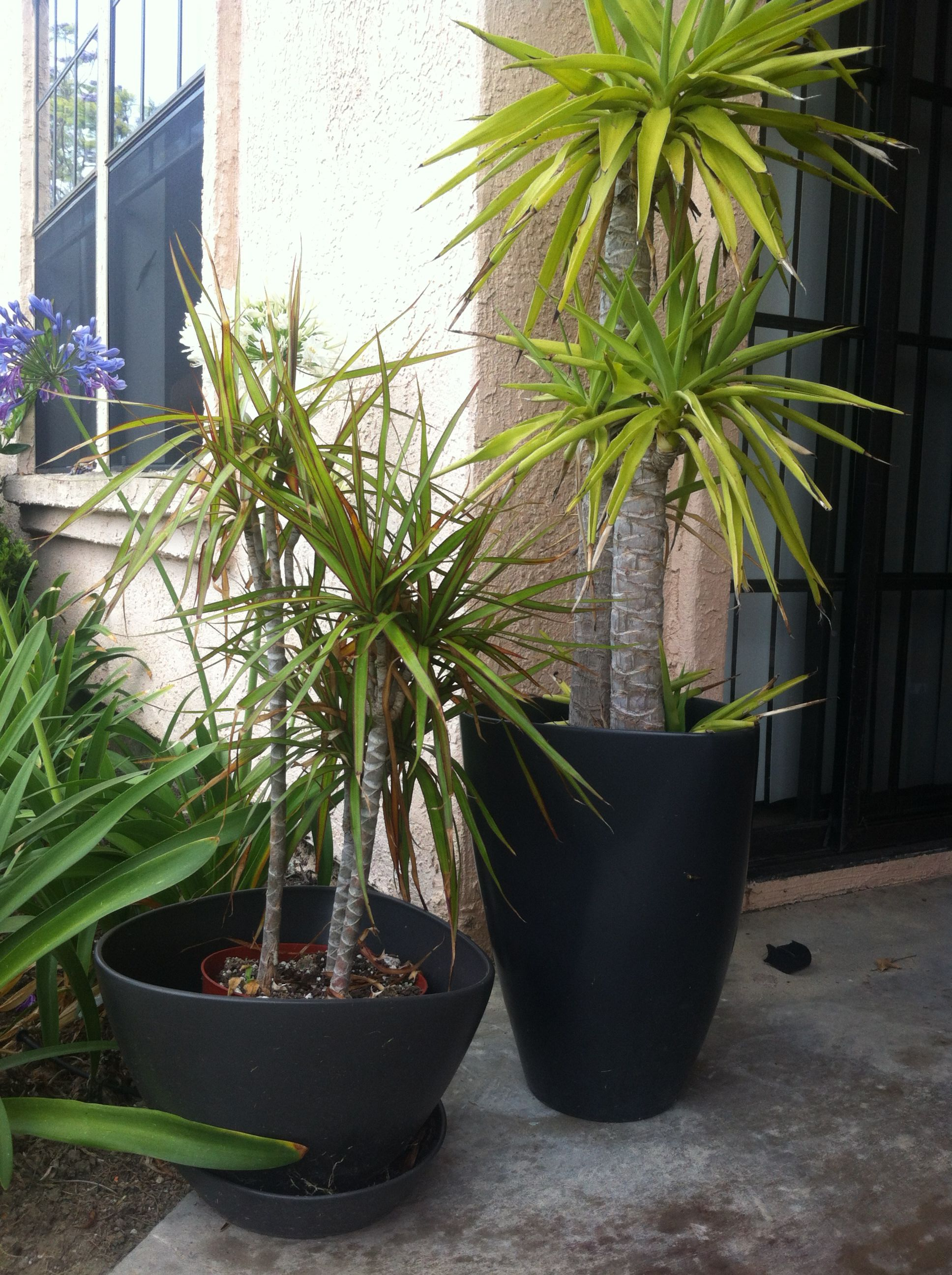 Ikea Palm Tree Two Palm Tree Plants And Heavy Ceramic Pots From Ikea 30 Fire