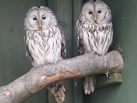Ural Owl Video