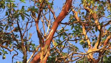 1,000 COOL THINGS ABOUT VANCOUVER | The Gnarled Brilliance Of The Arbutus Tree