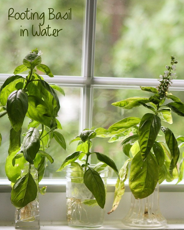 Rooting Basil Cuttings in Water is so easy!!