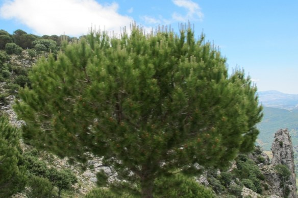 A pinsapo, a type of fir tree only found in this region.