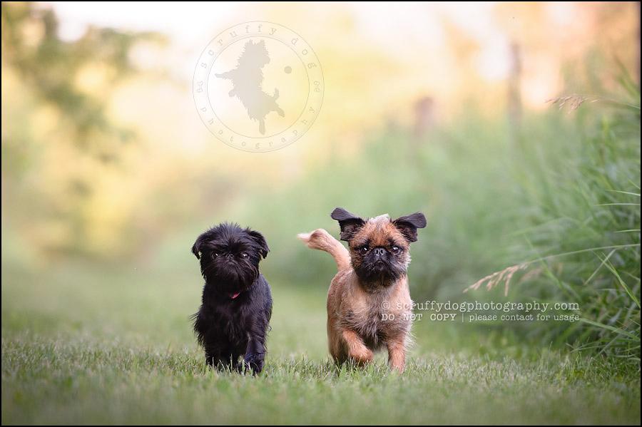 Fall Pug Wallpaper Bosco Amp Murfy Toronto Pet Photographer 187 Scruffy Dog