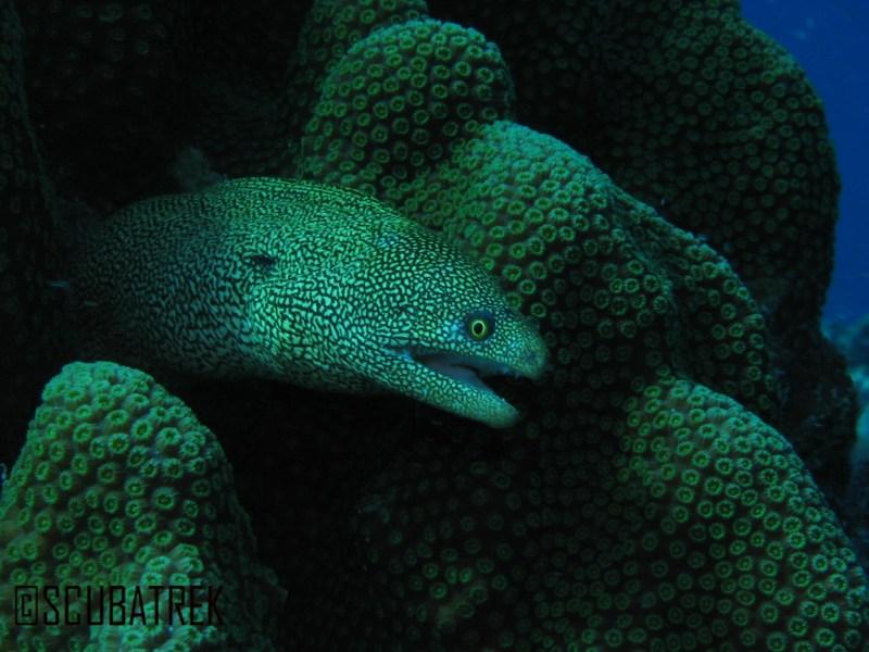 Golden Eel