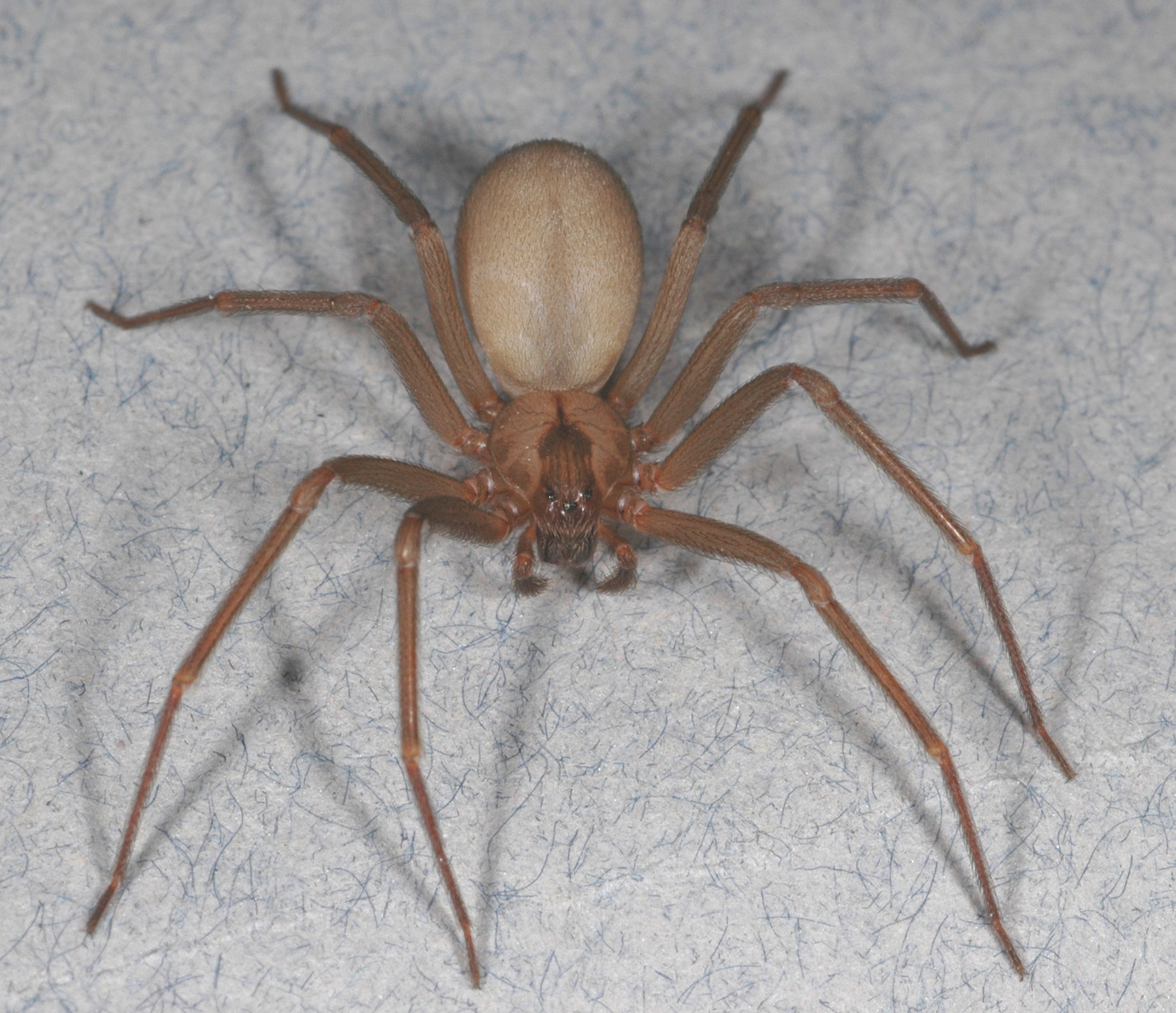 brown recluse california