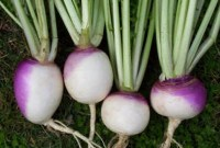 Turnips, Baked or Steamed