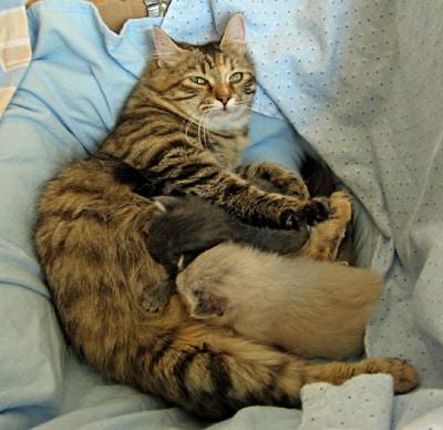 Female Siberian cat Calina with two kittens Elu and Elmo