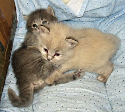 Siberian kitten Elu and Elmo wrestle, aged 23 days, Sept 4 2011