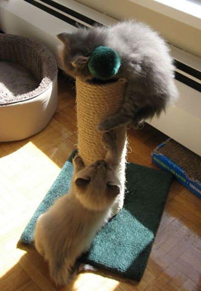 Siberian kittens on scratching post