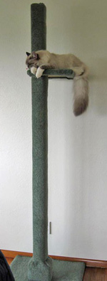 Siberian cat Harley on a 2-metre-tall scratching post