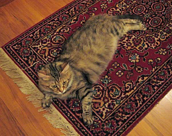 Pregnant Siberian cat Calina