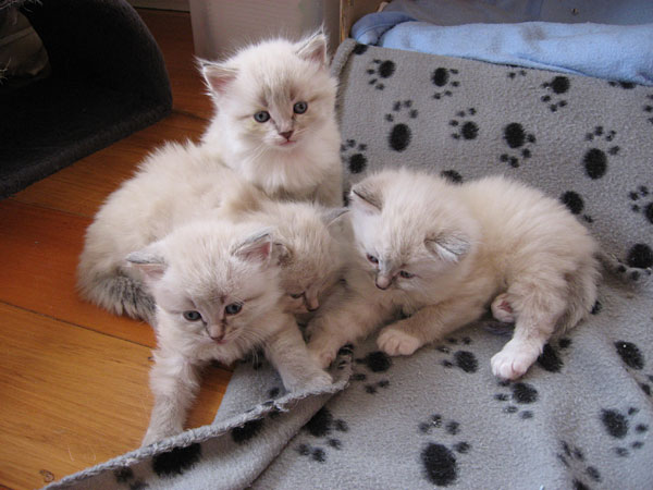 These four-week-old Siberian kittens had just scrambled out of their nest