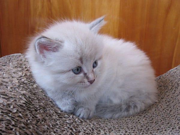 Siberian kitten Ksenia at 4 weeks old, 29 September 2016