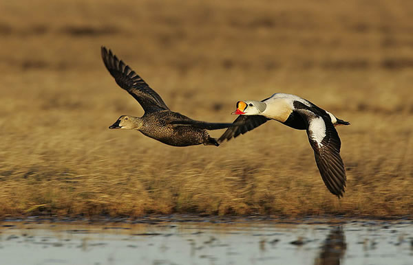 Late Fall Wallpaper King Eider Sea Duck Joint Venture