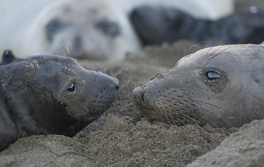 Elephant Seal Nursery, Central California Coast