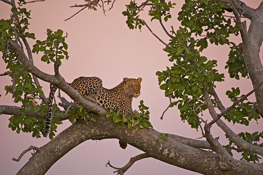 Leopard at Twilight, Linyanti Concession, Botswana