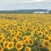女満別のひまわり畑とメルヘンの丘~知床へ【北海道】