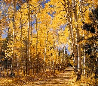 Birch Tree Fall Wallpaper The Quot Joy Of Fall Quot