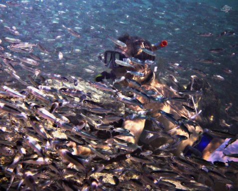 Renee Blundon Surrounded by Silver Cyprinids 1280 x 1024