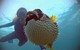 Renee Blundon with a Puffed-up Pufferfish 1680 x 1050