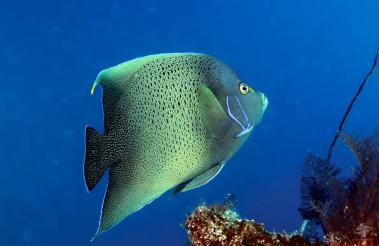 Adult Koran Angel Fish Pomecanthus semicirculatus on Dindini wall Mafia Island